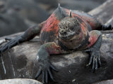 Endangered Marine Iguana, Amblyrhynchus Cristatus, Resting on a Rock Photographic Print by Tim Laman