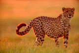 Cheetah (Acinonyx Jubatus) Photographic Print by Beverly Joubert
