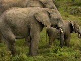Group of African Elephants Including a Juvenile Photographic Print by Mattias Klum