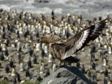 Skua Perched on a Rock Above a King Penguin Rookery Photographic Print by Tom Murphy