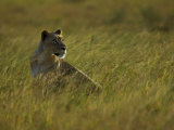 African Lioness in Tall Grasses Photographic Print by Mattias Klum