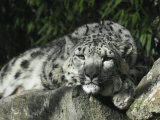 Snow Leopard Takes Time Out to Rest its Huge Head on a Rock Ledge Photographic Print by Jason Edwards