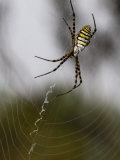 Large Argiope Orb-Weaving Spider in it's Web Photographic Print by Mattias Klum