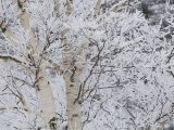 Snow Covered Birch Trees in the Forest of Madonna Mountain Photographic Print by Tim Laman