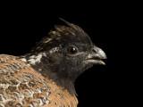 Endangered Masked Bobwhite Quail Photographie par Joel Sartore