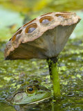 Bullfrog, Rana Catesbeiana, Below a Lotus Seed Pod Photographic Print by Paul Sutherland