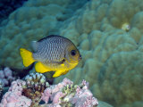 Reef Fish Swimming over Coral in Kingman Reef Fotografisk tryk af Brian J. Skerry