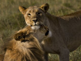 Male and Female African Lions, Panthera Leo, Nuzzling Photographic Print by Mattias Klum