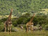 Giraffes and Zebras in an African Landscape Fotografisk tryk af Mattias Klum