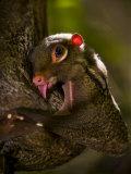 Flying Lemur in Bako National Park Fotografisk tryk af Mattias Klum