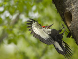 Pileated Woodpeckers are Often Mistaken for Ivory Billed Woodpeckers Photographic Print by Joel Sartore