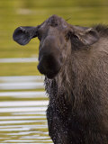 Alaskan Moose: Alces Alces Photographic Print by Michael S. Quinton