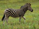 Zebra Walking Through Grasses and Small Wildflowers Fotografisk tryk af Mattias Klum