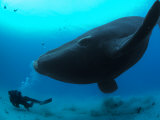Diver Has a Close Encounter Wih a Southern Right Whale Fotografisk tryk af Brian J. Skerry