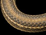 Gulf Marsh Snake, Nerodia Fasciata Clarki Photographic Print by Joel Sartore