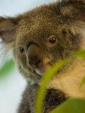 Portrait of a Koala Bear Photographic Print by Mattias Klum