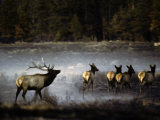 Bull Elk Leads Herds His Cows Thru a Meadow Still Smoking after Being Photographic Print by Michael S. Quinton