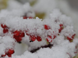 Cluster of Elderberries Covered in a Dusting of Snow Photographic Print by George Herben