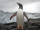 Portrait of a Gentoo Penguin, Pygoscelis Papua Photographic Print by  Keenpress