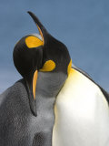 Pair of King Penguins Necking and Courting Photographic Print by Tom Murphy