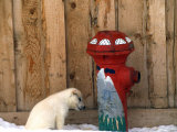 Sled Dog Pup by a Fire Hydrant Photographic Print by Kate Thompson