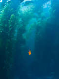Garibaldi Fish in Giant Kelp Underwater Photographic Print by James Forte
