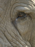 Close Up Detail of the Eye of an African Elephant, Loxodonta Africana Photographic Print by Paul Sutherland