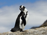 Portrait of a Jackass Penguin Photographic Print by Mattias Klum