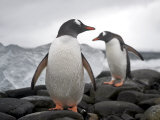Two Gentoo Penguins, Pygoscelis Papua, on a Rocky Shore Photographic Print by  Keenpress