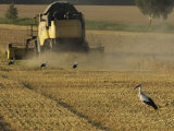 White Storks Picks a Field for Frogs after Combine Has Cut Grain Photographic Print by  Keenpress