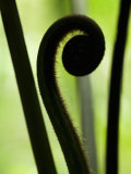 Close Up of a Fern Fiddlehead Photographic Print by Mattias Klum