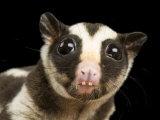 Striped Opossum (Dactylopsila Trivirgata) Photographic Print by Joel Sartore