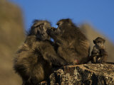 Pair of Baboons, Papio Species, Grooming with Infant Sitting Near Photographic Print by Mattias Klum