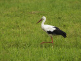 White Stork Feeding in Grass, Side View Photographic Print by  Keenpress