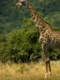 Giraffe in an African Landscape Photographic Print by Mattias Klum