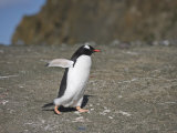 Gentoo Penguins (Pygoscelis Papua) Walking on Beach Photographic Print by  Keenpress