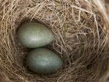Bird's Nest in Hellemoboten Fotografisk trykk av Michael Melford