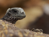 Close View of a Juvenile Marine Iguana, Amblyrhynchus Cristatus Photographic Print by Tim Laman