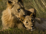 Male and Female African Lions, Panthera Leo, Nuzzling Fotografisk tryk af Mattias Klum