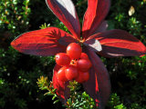 Bright Red Cluster of Ground Dogwood, Bunchberries in the Fall Photographic Print by George Herben