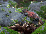 Endangered Marine Iguanas, Amblyrhynchus Cristatus, Grazing on Algae Photographic Print by Tim Laman