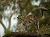 Leopard (Panthera Pardus) Stands on a Tree Branch Photographic Print by Beverly Joubert