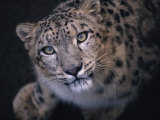 Curious, Predatory Stare of a Female Snow Leopard Stalking Prey Photographic Print by Jason Edwards