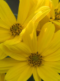 Close Up of a Bunch of Bright Yellow Flowers Fotografisk tryk af Paul Sutherland