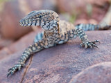 Perentie Monitor Lizard Basking on Rock in Outback Australia Photographie par Brooke Whatnall