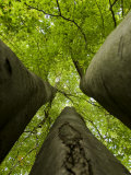 Looking Up into the Tops of Three Closely Grown Large Trees Photographic Print by Mattias Klum