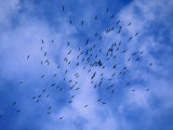Flock of Crows Fly over the Grand Canyon Photographic Print by Kate Thompson
