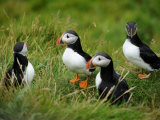 Close Up of a Small Group of Puffins on the Shetland Islands Photographic Print by Jim Richardson