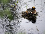 Horned Grebe on Boreal Pond with Baby in a Rainstorm Photographic Print by Michael S. Quinton