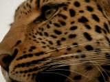 Close-up of a Leopard (Panthera Pardus) Photographic Print by Beverly Joubert